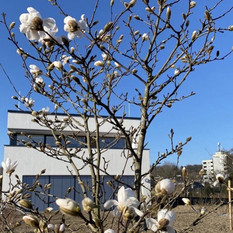 Magnolienblüte vor dem PRAXISFELD Bürogebäude im Seminargarten des ZEITRAUMs